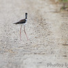 Black-necked Stilt <br /> Cora Island Road <br /> One walked across road, others flew.<br /> See next few photos.