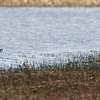 Black-necked Stilts <br /> Cora Island Road <br /> Two far out on the southern shore