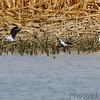Black-necked Stilts <br /> Cora Island Road <br /> (back to east side)