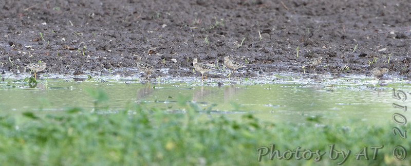L to R #12 of 16 <br /> Buff-breasted Sandpipers <br /> Firma Road <br /> St. Charles County