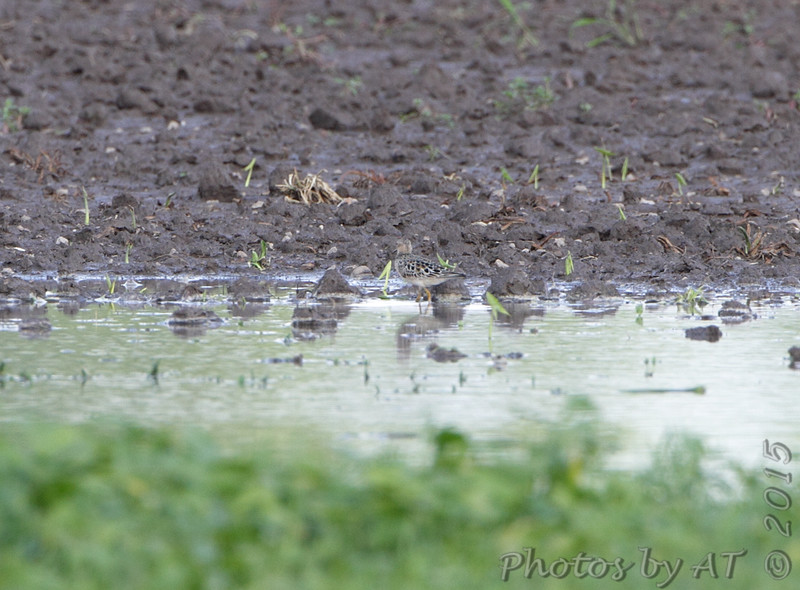 L to R #10 of 16 <br /> Buff-breasted Sandpiper <br /> Firma Road <br /> St. Charles County