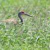 Sandhill Crane <br /> Firma Road <br /> St. Charles County