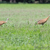 Sandhill Cranes <br /> Firma Road <br /> St. Charles County