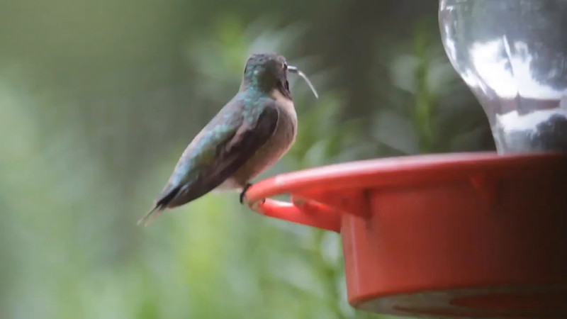 """Ruby-throated Hummingbird <br> Bridgeton, MO <br> 8/19/15 <br>  <span class=""""noShowSmart""""> <a href=""""/MyKeywords/Bird-Videos/n-gF9bt/i-6DwVWJM/A""""> <span style=""""color:yellow"""">Click here to open video in lightbox/full screen</span></a> </span>  <span class=""""noShowGallery""""> <a href=""""/Birds/2015-Birding/Birding-2015-August/2015-08-Yardbirds/i-6DwVWJM/A""""> <span style=""""color:yellow"""">Click here to open video in lightbox/full screen</span></a> </span>"""