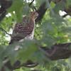 Cooper's Hawk <br /> Bridgeton, MO <br /> 8/06/15