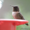 Ruby-throated Hummingbird <br /> Bridgeton, MO <br /> 8/19/15