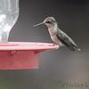 Ruby-throated Hummingbird <br /> Bridgeton, MO <br /> 8/04/15