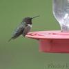 Ruby-throated Hummingbird <br /> Bridgeton, MO <br /> 8/06/15