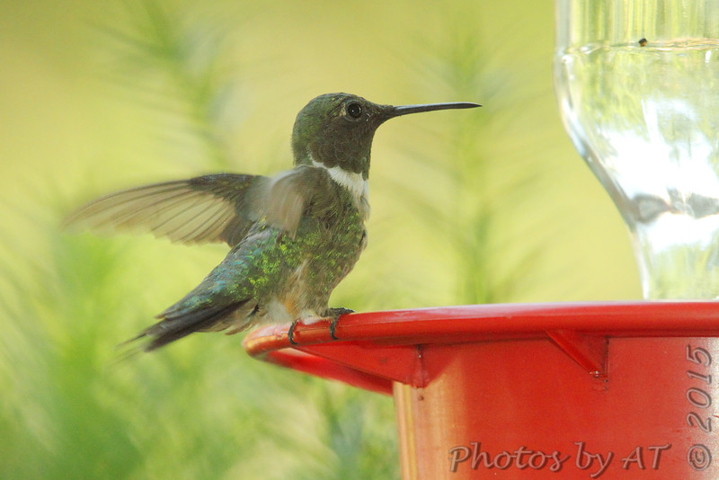 Ruby-throated Hummingbird <br /> Bridgeton, MO <br /> 8/16/15