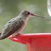 Ruby-throated Hummingbird <br /> Bridgeton, MO <br /> 8/18/15