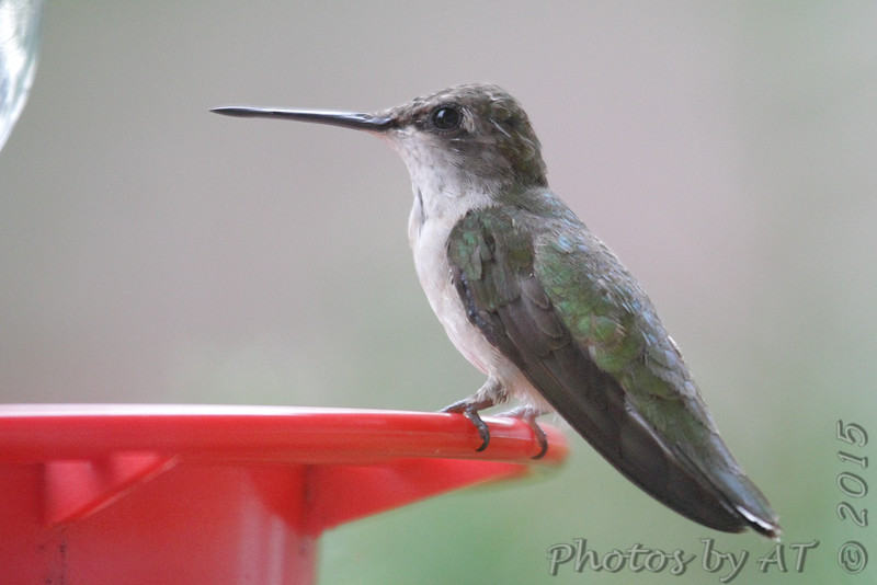 Ruby-throated Hummingbird <br /> Bridgeton, MO <br /> 8/19/15