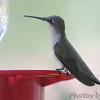 Ruby-throated Hummingbird <br /> Bridgeton, MO <br /> 8/16/15