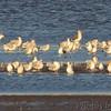 Lesser Black-backed Gull <br /> Ring-billed and Herring Gulls <br /> Ellis Bay <br /> Riverlands Migratory Bird Sanctuary