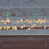 (2) Lesser Black-backed Gulls <br /> Ellis Bay <br /> Riverlands Migratory Bird Sanctuary