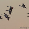 Canada Geese <br /> Riverlands Migratory Bird Sanctuary