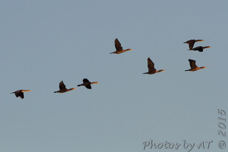 Double-crested Cormorants <br /> flyover Ellis Bay <br /> Riverlands Migratory Bird Sanctuary
