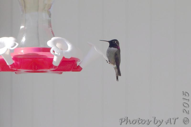 Anna's Hummingbird <br /> Springfield, MO