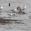 Forster's Tern and Ring-billed Gulls <br /> Ellis Bay <br /> Riverlands Migratory Bird Sanctuary