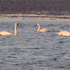 (2) Tundra and (2) Trumpeter Swans <br /> Ellis Bay <br />  Riverlands Migratory Bird Sanctuary