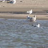 Kumlien's Gull <br /> (Crop of next photo) <br /> Possible Thayer's Gull upper right?