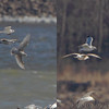 Crops from previous photo <br /> R - Lesser Black-backed Gull <br /> L - Kumlien's?