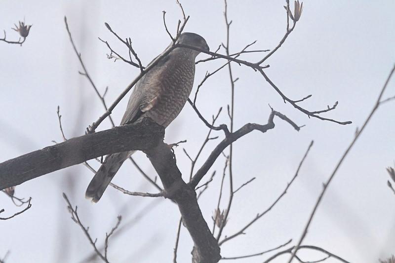 Cooper's Hawk <br /> Bridgeton, MO <br /> 2/4/15