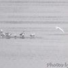 Ivory Gull <br /> Herring and Ring-billed Gulls <br /> Lock and Dam No.21 <br /> Quincy Illinois