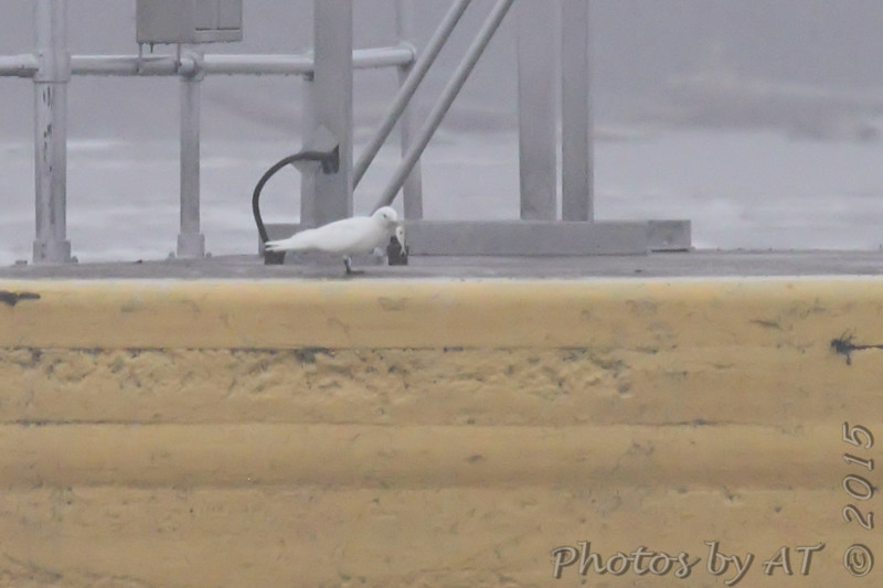 Ivory Gull <br /> and fish food <br /> Lock and Dam No.21 <br /> Quincy Illinois