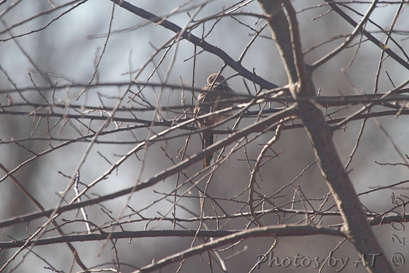 Inca Dove <br /> My 1st photo in Missouri <br /> Holden, MO <br /> 2015-01-10<br /> <br /> No. 338 on my Lifetime List of Bird Species <br /> Photographed in Missouri.