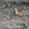 Harris's Sparrow <br /> Holden, Mo
