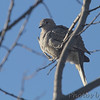 Inca Dove <br /> Holden, MO