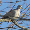Eurasian Collared Dove <br /> Holden, Mo
