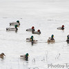 Canvasback, Redheads and Mallards <br /> Heron Pond <br /> Riverlands Migratory Bird Sanctuary <br /> 1/20/15