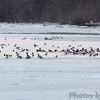 A few Common Mergansers <br /> Mississippi River below Clark Bridge <br /> Riverlands Migratory Bird Sanctuary <br /> 1/17/15
