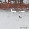 Trumpeter Swans and American Black Duck <br /> Ellis Island Parking Lot Bay <br /> Riverlands Migratory Bird Sanctuary <br /> 1/20/15