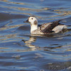 Long-tailed Duck (female) <br /> Below Melvin Price Dam Illinois <br /> Riverlands Migratory Bird Sanctuary<br /> 1/16/15