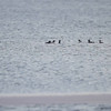 "A few Common Mergansers <br> Mississippi River below Clark Bridge <br> Riverlands Migratory Bird Sanctuary <br> 1/17/15 <br><br>  <span class=""noShowSmart""> <a href=""/MyKeywords/Bird-Videos/n-gF9bt/i-z59bN5n/A""> <span style=""color:yellow"">Click here to open video in lightbox/full screen</span></a> </span>  <span class=""noShowGallery""> <a href=""/Birds/2015-Birding/Birding-2015-January/2015-01-16-20-RMBS/i-z59bN5n/A""> <span style=""color:yellow"">Click here to open video in lightbox/full screen</span></a> </span>"