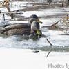 American Black Ducks <br /> Pintail Marsh input channel <br /> Riverlands Migratory Bird Sanctuary