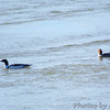 Common Mergansers <br /> Riverwoods Park and Trail