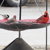 Northern Cardinal • House Finch • Carolina Chickadee <br /> Bridgeton, MO <br /> 01/08/15