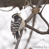Downy Woodpecker  <br /> Bridgeton, MO <br /> 01/08/15