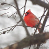 Northern Cardinal <br /> Bridgeton, MO <br /> 01/08/15