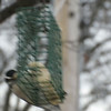 "Downy Woodpecker <br> Bridgeton, MO <br> 01/08/15  <br><br>  <span class=""noShowSmart""> <a href=""/MyKeywords/Bird-Videos/n-gF9bt/i-Zm7VTVv/A""> <span style=""color:yellow"">Click here to open video in lightbox/full screen</span></a> </span>  <span class=""noShowGallery""> <a href=""/Birds/2015-Birding/Birding-2015-January/2015-01-Yardbirds/i-Zm7VTVv/A""> <span style=""color:yellow"">Click here to open video in lightbox/full screen</span></a> </span>"