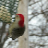 "Red-bellied Woodpecker <br> Bridgeton, MO <br> 01/08/15  <br><br>  <span class=""noShowSmart""> <a href=""/MyKeywords/Bird-Videos/n-gF9bt/i-dBM6HM8/A""> <span style=""color:yellow"">Click here to open video in lightbox/full screen</span></a> </span>  <span class=""noShowGallery""> <a href=""/Birds/2015-Birding/Birding-2015-January/2015-01-Yardbirds/i-dBM6HM8/A""> <span style=""color:yellow"">Click here to open video in lightbox/full screen</span></a> </span>"