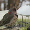 "Northern Flicker (Yellow_shafted) <br> Bridgeton, MO <br> 01/08/15  <br><br>  <span class=""noShowSmart""> <a href=""/MyKeywords/Bird-Videos/n-gF9bt/i-gKvRtP9/A""> <span style=""color:yellow"">Click here to open video in lightbox/full screen</span></a> </span>  <span class=""noShowGallery""> <a href=""/Birds/2015-Birding/Birding-2015-January/2015-01-Yardbirds/i-gKvRtP9/A""> <span style=""color:yellow"">Click here to open video in lightbox/full screen</span></a> </span>"