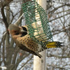 "Northern Flicker (Yellow_shafted) <br> Bridgeton, MO <br> 01/08/15  <br><br>  <span class=""noShowSmart""> <a href=""/MyKeywords/Bird-Videos/n-gF9bt/i-mTwjzQr/A""> <span style=""color:yellow"">Click here to open video in lightbox/full screen</span></a> </span>  <span class=""noShowGallery""> <a href=""/Birds/2015-Birding/Birding-2015-January/2015-01-Yardbirds/i-mTwjzQr/A""> <span style=""color:yellow"">Click here to open video in lightbox/full screen</span></a> </span>"