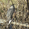 "Cooper's Hawk <br> Bridgeton, MO <br> 01/13/15  <br> <span class=""noShowSmart""> <a href=""/MyKeywords/Bird-Videos/n-gF9bt/i-vp69Zfz/A""> <span style=""color:yellow"">Click here to open video in lightbox/full screen</span></a> </span>  <span class=""noShowGallery""> <a href=""/Birds/2015-Birding/Birding-2015-January/2015-01-Yardbirds/i-vp69Zfz/A""> <span style=""color:yellow"">Click here to open video in lightbox/full screen</span></a> </span>"