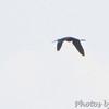 Dark Ibis sp. <br /> Crossing Hwy N by Winfield