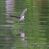 Long-tailed Jaeger <br /> Horseshoe Lake <br /> Illinois <br /> 4/19/15