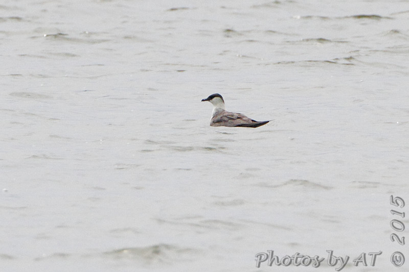 Long-tailed Jaeger <br /> Horseshoe Lake <br /> Illinois <br /> 4/17/15